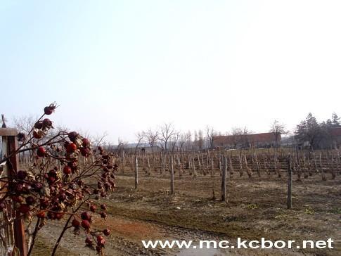 vinogradi u selu Sikole kod Knaževca