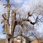 Bracevac drvo 1