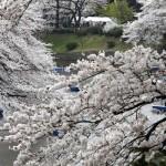 Japan cvet 1